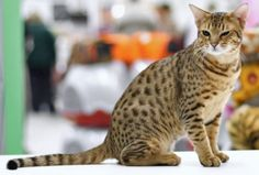 Top 10 Fluffy Cat Breeds List [+Parenting Simplified Tips] Ocicat, Fluffy Cat Breeds, Cat Breeds List, Hypoallergenic Cats, Cat Brain, American Shorthair, What Cat, Pet Supplements, Munchkin Cat