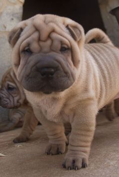 Cute Cats And Dogs, Cute Dogs And Puppies, Animals And Pets, Funny Animals, Doggies, Beautiful Dogs, Animals Beautiful, Wrinkly Dog, Sweet Dogs