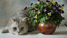 cats-british-blue-flowers-pansies-vase-flower-ceramic-1920x1080.jpg (1920×1080)