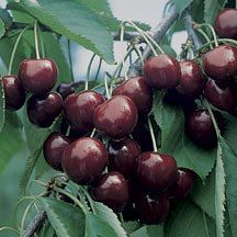Black Gold Sweet Cherry (Dwarf) good for NW zone Also like the idea of planting a dwarf and self pollinating. disease resistant (and deer? Fruit Ideas, Cornell University, Zone 5, Sweet Cherries, Flower Gardening, Cherry Tree, Permaculture, Fertility, Trees To Plant