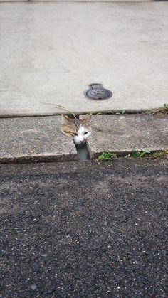 側溝の割れ目から外を見てるノラ猫さん