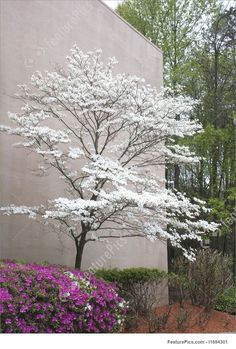 A pink azalea and a white dogwood tree at a landscaped building