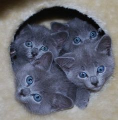Adorable Russian Blue kittens in New South Wales, Australia • photo: Elizabeth B on Adpost  Too much freaking cuteness!!!