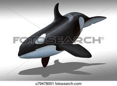 Artwork of a female killer whale or orca View Large Illustration