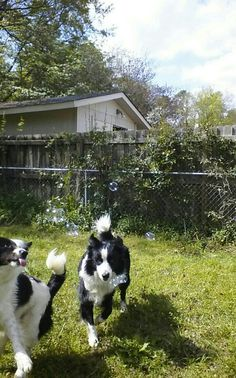 Border Collies loves bubbles!