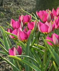 Tulipe humilis var. pulchella 'Persian pearl', 15cm, will naturalise in drained even dry soil in summer, March flowering in deep pink with yellow eye Tulips Garden, Daffodils, Amaryllis, Alpine Garden, White Flower Farm, The Colour Of Spring, Spring Bulbs, Fall Plants, Raised Garden Beds