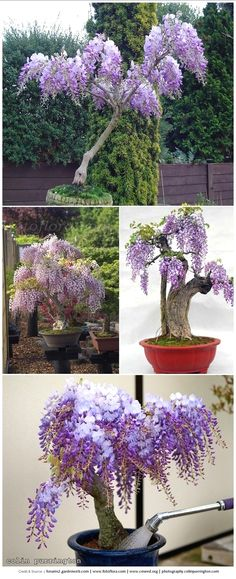 Wisteria, a commonly aggressive vining plant, can be grown in a potted planter to contain and train beautiful plant cover without letting it get unruly. #GardeningIdeas