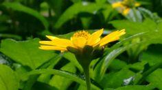 #Morningglory #Wildflowers #photographyskills #macrophotography #motogcamera #lushgreen #yellowstandsout