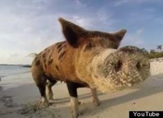 Far away, in a mystical land, there's a place where wild pigs swim free.  In the Bahamian archipelago of Exuma, you can find the island of Big Major Cay, also known as Pig Island, where tourists...