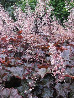 Heuchera sanguinea 'Splendens' Coral Bells I had this in my back yard in WA. Love them! Much better than hostas.
