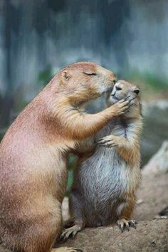'Give me a kiss' Perritos de la pradera
