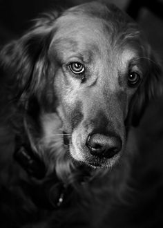beautiful photo of Golden Retriever Dog Photography Puppy Hounds Chiens Puppies