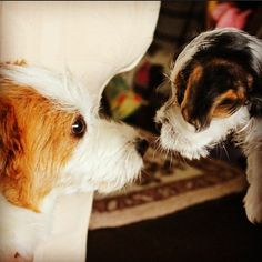 Millie challenged Ginny to a staring contest. The winner gets bacon treats and the title of Bacon Queen. Jack Russell Dogs, Jack Russell Terrier, Terrier Dogs, Terriers, Jack Russells, Light Of My Life, Dog Names, Kisses, Puppy Love
