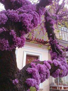 Purple blush on an Eastern Redbud tree. Diy Garden, Dream Garden, Purple Flowers, Beautiful Flowers, Purple Wisteria, Purple Trees, Purple Garden, Colorful Roses, Exotic Flowers