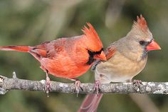 A pair of Northern Cardinals on a branch.