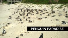Penguin paradise in South Africa nearby Simon's Town