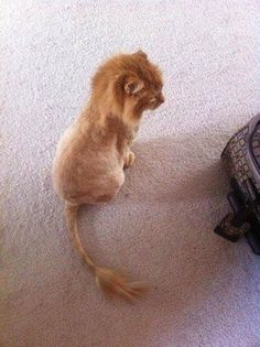 Guy shaved his cat and turned it into Simba !
