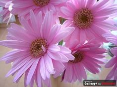 Pink Daisy from Anna Rousou