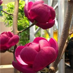 Magnolia 'Cleopatra' Plants, Gorgeous Gardens, Magnolia, Beautiful Flowers, Plant Design, Front Yard, Shrubs, Flowers, Flowering Trees