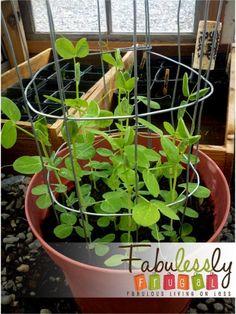 How to Make a Mini DIY Sugar Snap Pea Trellis – Fabulessly Frugal - Modern Pea Trellis, Bamboo Trellis, Garden Trellis, Pea Ideas, Mini Diy, Fenced Vegetable Garden, Veggie Gardens, Growing Peas, Diy Garden