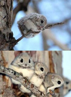 Japanese Flying Squirrels…there adorable!!