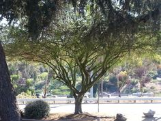 A green tree in La Mesa... even the trunk and branches are green! Looks pretty cool.