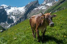 Photo by Patrick Robert Doyle on Unsplash Patrick Roberts, Cow Photos, Cattle, Mammals, Switzerland, To Go, Lady, Instagram, Twitter