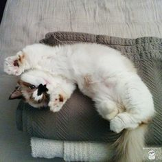 But he's also down to stretch it out. | Albert Is The Cutest Munchkin Cat You Will Ever See
