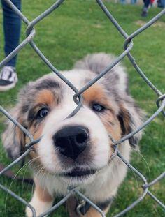 My future baby - Cute Animals - Perros Graciosos Super Cute Puppies, Baby Animals Super Cute, Cute Baby Dogs, Cute Little Puppies, Cute Dogs And Puppies, Cute Little Animals, Cute Funny Animals, Doggies, Aussie Puppies