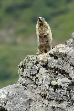 Marmotte : l'alerte