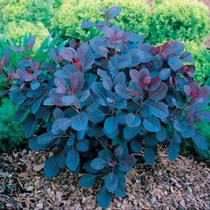 A Smoke Bush with foliage that is red in spring, purple in summer, and golden-orange in fall, plus purple blooms.