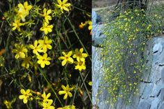 Winter jasmine (Jasminum nudiflorum) Mark where this is in early spring so it is not covered up with Mulch in June. Garden Shrubs, Lawn And Garden, Winter Jasmine, Colorful Plants, Winter Flowers, Garden Items, Flowering Vines, 6 Photos, Winter Landscape