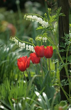 Spring flowers - white bleeding hearts and red tulips