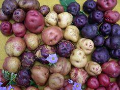 Multiple potato varieties representing a diverse genetic selection.