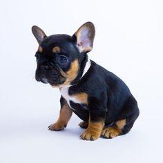 Gamora, the French Bulldog Puppy #buldog