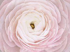 Pink Petals - Click to Zoom!