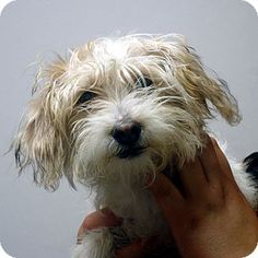 Hagerstown, MD - Poodle (Toy or Tea Cup)/Maltese Mix. Meet Contessa a Dog for Adoption.