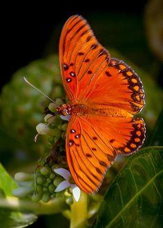 Gulf Fritillary Butterfly by Jill Jermann