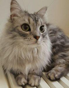 my cat, Ruddy. ♂3-year-old Scottishfold