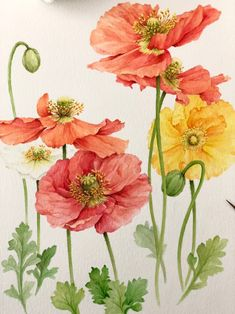 Botanical Drawings, Botanical Art, Botanical Illustration, Summer Painting, Love Painting, Watercolor Flowers, Watercolor Paintings, Flower Art, Poppy