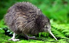 Interesting Facts About Kiwi Birds