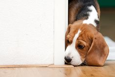 Maartin the Beagle ventures outside on his first day at his new home.  Looks a little worried . . .