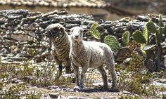 Las ovejas de mi fundo. Las que dan la lana para el poncho.