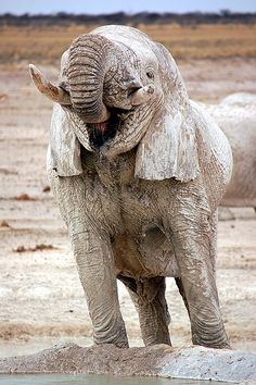 love seeing elephants living their lives in the wild. Here's one who's covered in dried mud, Namibia
