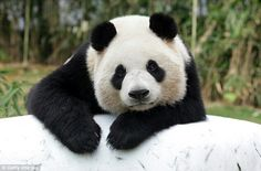Can't bear to be alone? According to a recent Imgur post, pandas might actually be great matchmakers