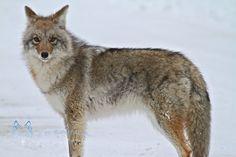 Female Coyote, Jasper National Park via G+