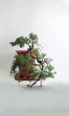 Juniper procumbens nana bonsai tree from the estate of