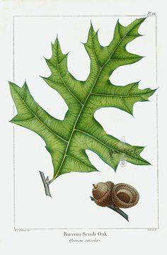Michaux North American Sylva antique prints by Bessa, Redoute 1819 (leaf, acorn)
