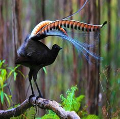 Superb Lyrebird! Found In Southeastern Australia. One Of Natures Greatest Mimics!!