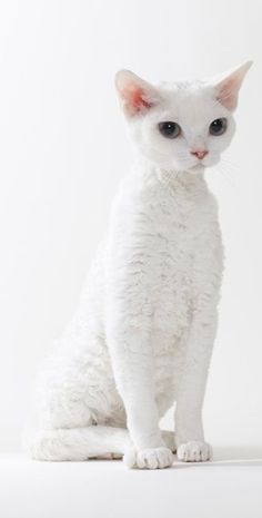How to Groom a Devon Rex Cat? Annie Many - Singapura Cat - ideas of Singapura Cat - How to Groom a Devon Rex Cat? Annie Many The post How to Groom a Devon Rex Cat? Annie Many appeared first on Cat Gig. Pretty Cats, Beautiful Cats, Animals Beautiful, Pretty Kitty, I Love Cats, Crazy Cats, Cool Cats, Amazing Animals, Cute Animals
